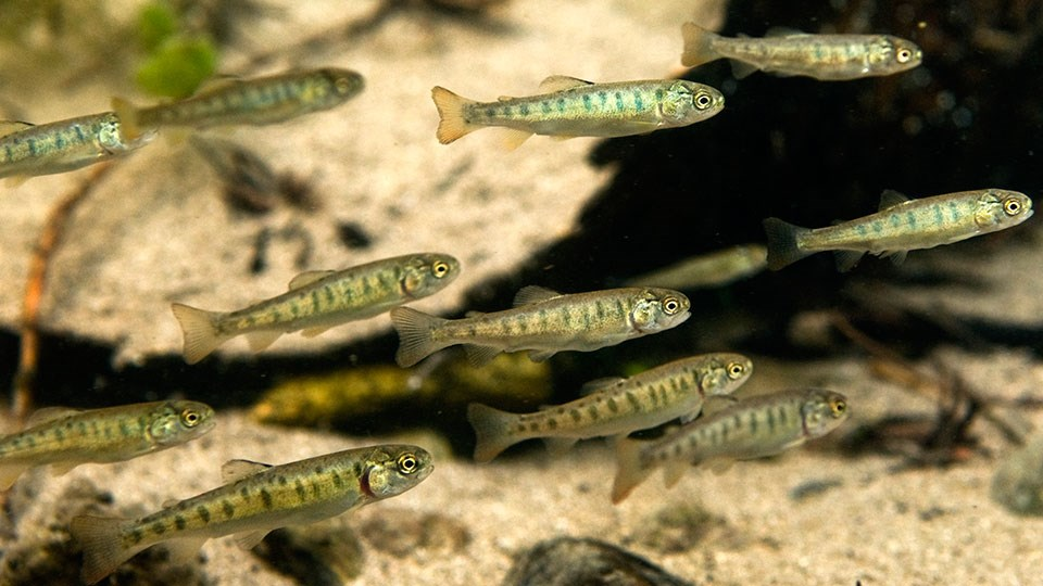 This image has an empty alt attribute; its file name is minnows.jpg